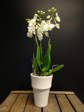 Vit orkide
